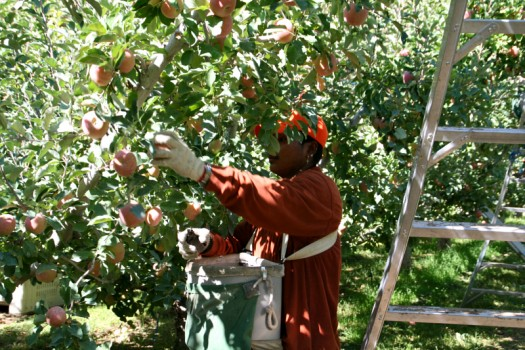 """Reflection on """"How to Pick Apples: Colonialism and Citizenship in the Formation of Puerto Rican Migrant Farm Labor"""""""